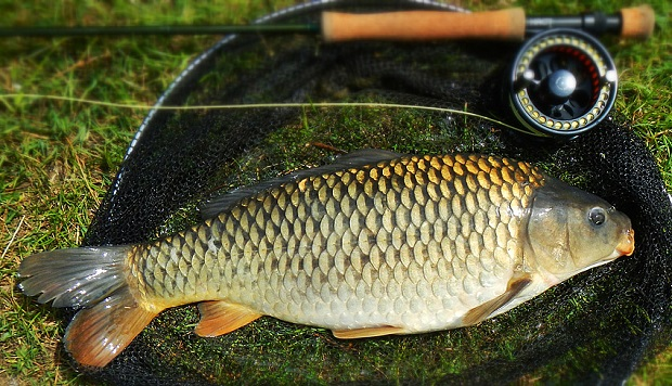 Carp critters eat sleep fish for Is fish good for you