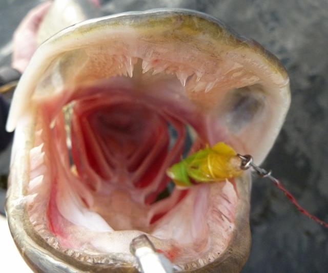Pike fish teeth for Muskie fish teeth