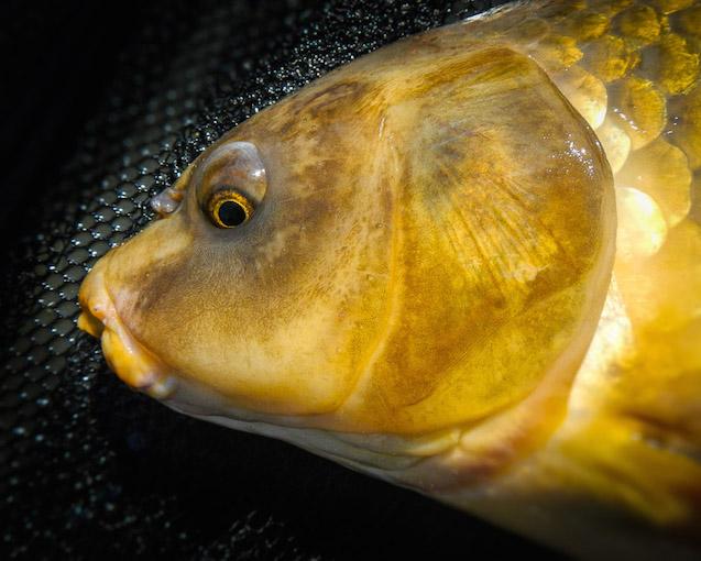 Carp 101 eat sleep fish for Can you eat carp fish